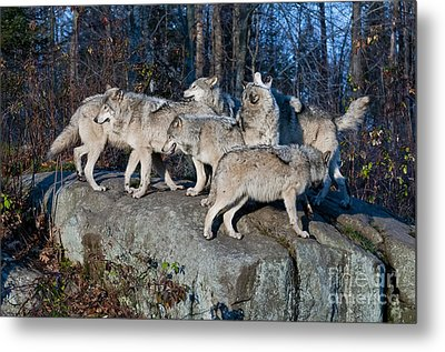 Timber Wolf Pack Metal Print by Wolves Only