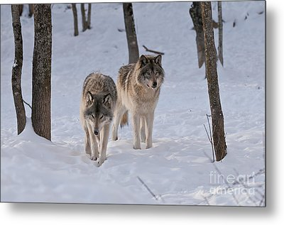 Metal Print featuring the photograph Timber Wolf Pair  by Wolves Only