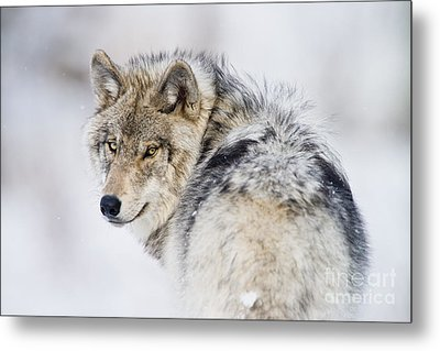 Timber Wolf Pictures 1268 Metal Print by World Wildlife Photography