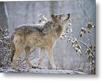 Timber Wolf Pictures 188 Metal Print by Wolves Only