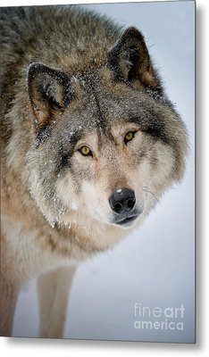 Timber Wolf Pictures 255 Metal Print by Wolves Only