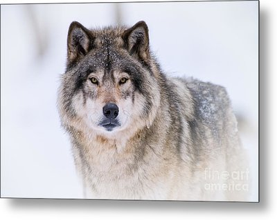 Timber Wolf Pictures 256 Metal Print by Wolves Only