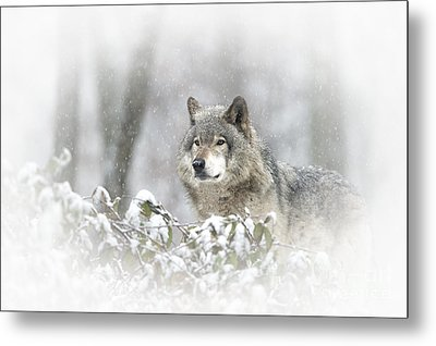 Timber Wolf Pictures 279 Metal Print by Wolves Only