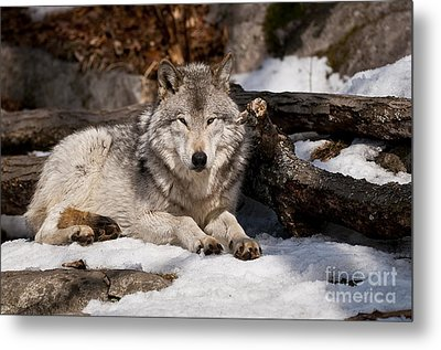 Timber Wolf Pictures 776 Metal Print by World Wildlife Photography