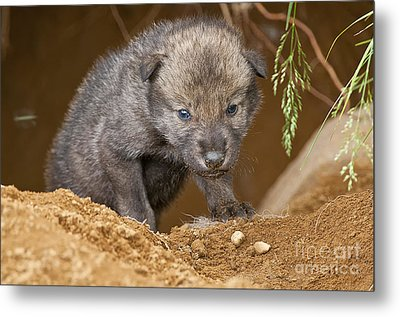 Timber Wolf Pictures 782 Metal Print by World Wildlife Photography