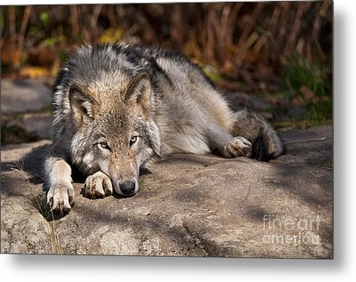 Timber Wolf Pictures 945 Metal Print by World Wildlife Photography
