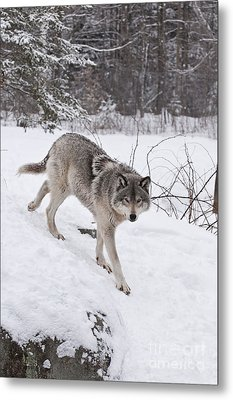 Metal Print featuring the photograph Timber Wolf  by Wolves Only