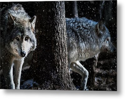 Timber Wolves In The Snow Metal Print by Tracy Munson