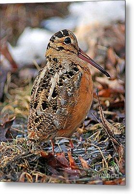 Timberdoodle The American Woodcock Metal Print