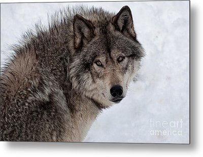 Metal Print featuring the photograph Timberwolf At Rest by Bianca Nadeau