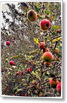 Time To Pick The Apples Metal Print by Garren Zanker