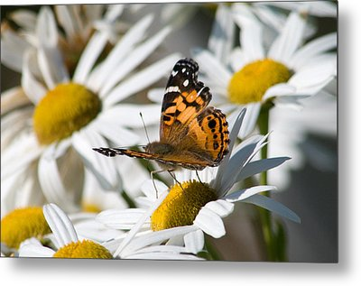 Metal Print featuring the photograph Tip-toeing On Daisies by Greg Graham