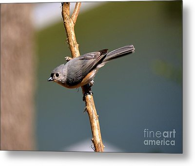 Metal Print featuring the photograph Titmouse by Lisa L Silva