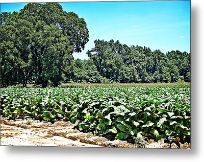 Metal Print featuring the photograph Tobacco Field by Linda Brown
