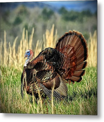 Tom Turkey Metal Print by Jaki Miller