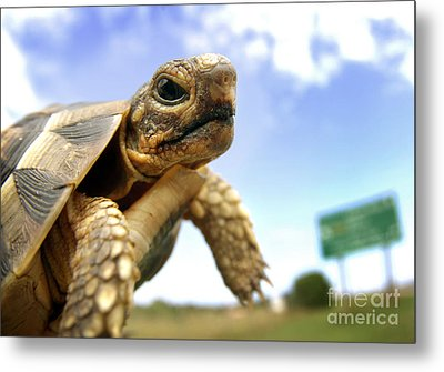 Tortoise On Roadside Metal Print
