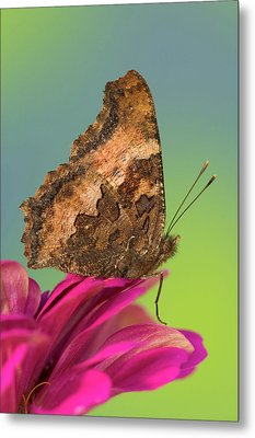 Tortoise-shell Butterfly, Nymphalis Metal Print