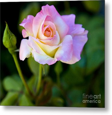 Metal Print featuring the photograph Rose-touch Me Softly by David Millenheft