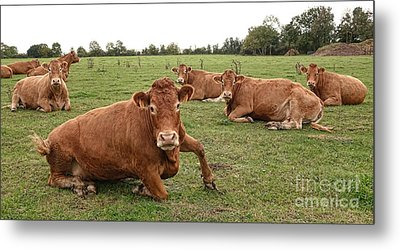 Tough Cows Metal Print by Olivier Le Queinec
