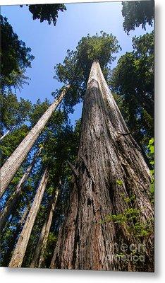 Towering Redwoods Metal Print by Paul Rebmann