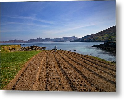 Traditional Poato Farming ,near Dursey Metal Print by Panoramic Images