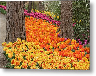 Trail Of Tulips Metal Print by Robert Camp