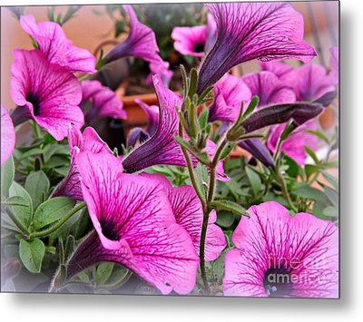 Metal Print featuring the photograph Trailing Petunias by Clare Bevan