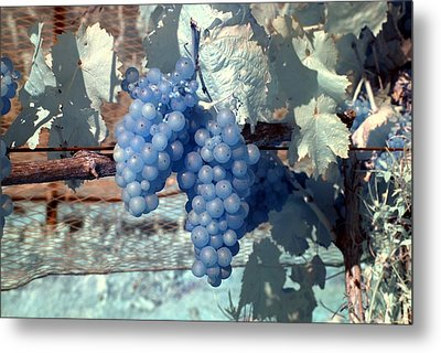 Transparent Grapes Metal Print by Rebecca Parker