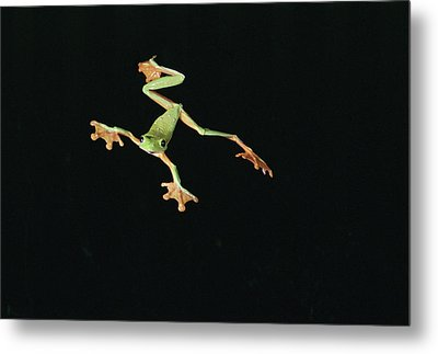 Tree And Leaf Frog Jumping Metal Print by Michael and Patricia Fogden