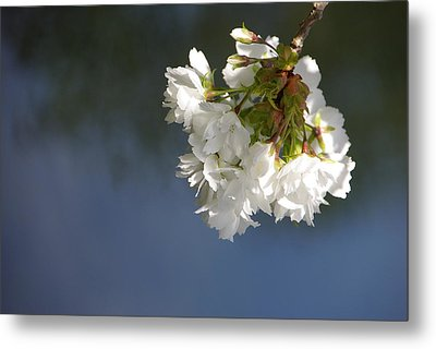 Metal Print featuring the photograph Tree Blossoms by Marilyn Wilson