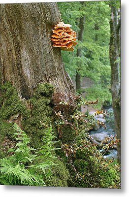 Tree Fungus - Chicken Of The Woods Metal Print by Gill Billington