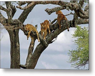 Tree Lions Metal Print by Tony Murtagh