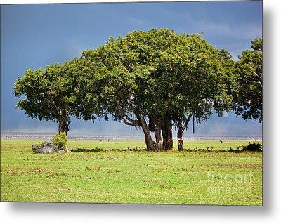 Tree On Savannah. Ngorongoro In Tanzania Metal Print by Michal Bednarek