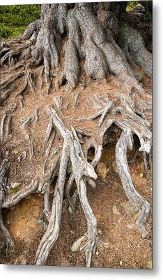 Tree Root Metal Print by Matthias Hauser