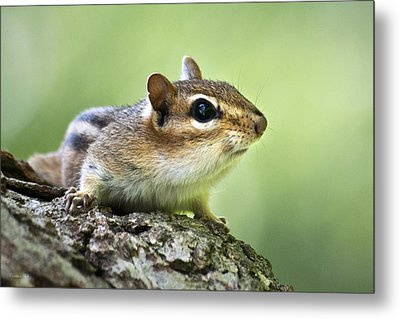 Tree Surfing Chipmunk Metal Print by Christina Rollo