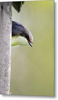 Tree Swallow Closeup Metal Print by Christina Rollo