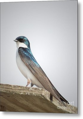 Tree Swallow Portrait Metal Print