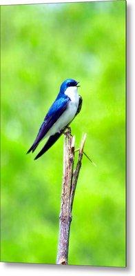 Tree Swallow Singer Metal Print