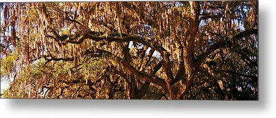 Trees Covered With Spanish Moss, Boone Metal Print