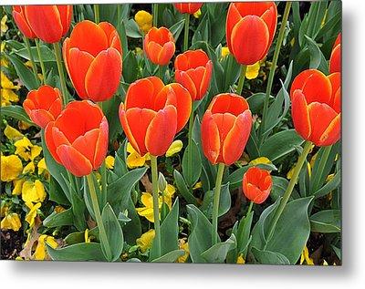 Trendy Tulips  Metal Print