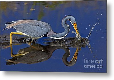 Metal Print featuring the photograph Tri Color Heron Splash by Larry Nieland