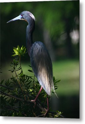 Tricolored Heron 11x14 Metal Print