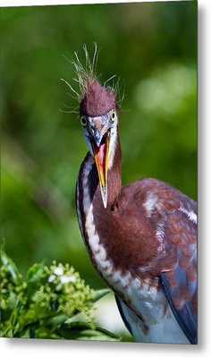 Tricolored Heron In Awe Metal Print by Andres Leon
