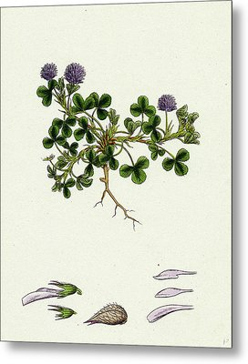 Trifolium Resupinatum Reversed-flowered Trefoil Metal Print by English School