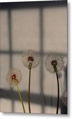 Trio Of Dandelions Metal Print