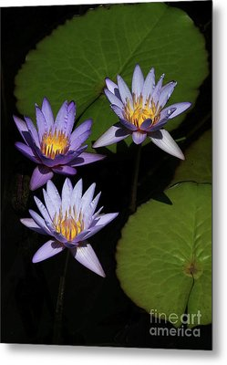 Trio Of Purple Water Lilies Metal Print by Sabrina L Ryan