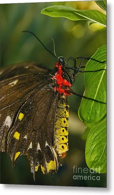 Metal Print featuring the photograph Troides Helena Butterfly  by Olga Hamilton