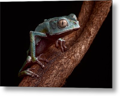 Tropical Amazon Rain Forest Tree Frog Metal Print by Dirk Ercken