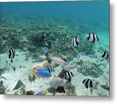 Tropical Fish, Malolo Lailai Island Metal Print