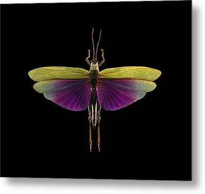 Tropical Grasshopper Metal Print by Science Photo Library